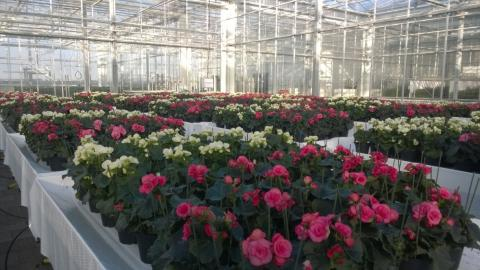 Successful test with bio-based substrate compost at Wageningen University & Research with Begonias