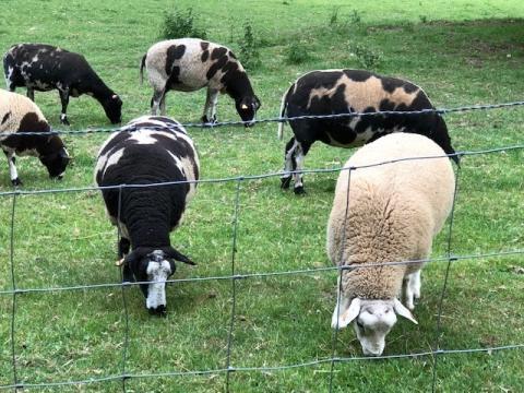Sheep @cvil